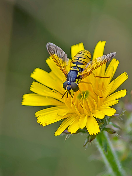 Chrysotoxum verralli (Female)