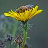 Hoverfly: Eristalis arbustorum, (male)