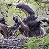 Great blue heron chick fighting with its lunch (a live frog). Ultimately the other chick managed to get it and swallowed it.