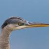 Great Blue Heron at six feet