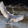 Great Egret landing.