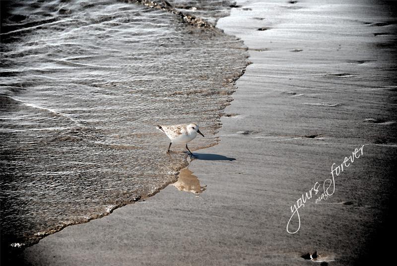 Sand Piper, Grand Isle, LA