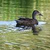 Female Mallard Duck (Troon Country Club)