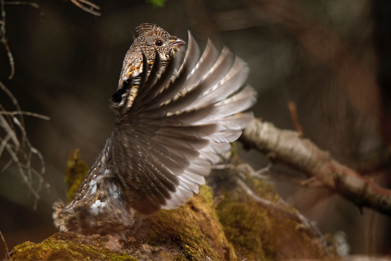 Conductor - Ruffed Grouse Drumming