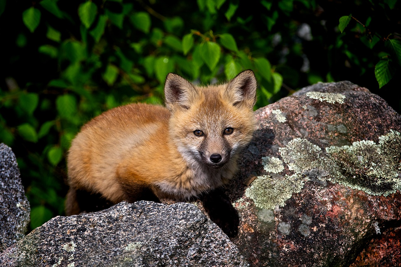 It was a lot of fun watching this young Fox playing while was I close by photographing her.