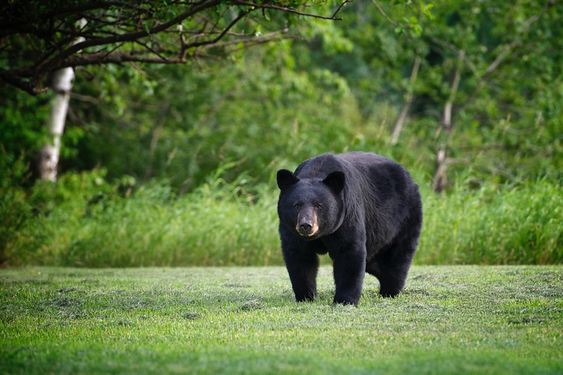 There's a bear in the yard, again -) -