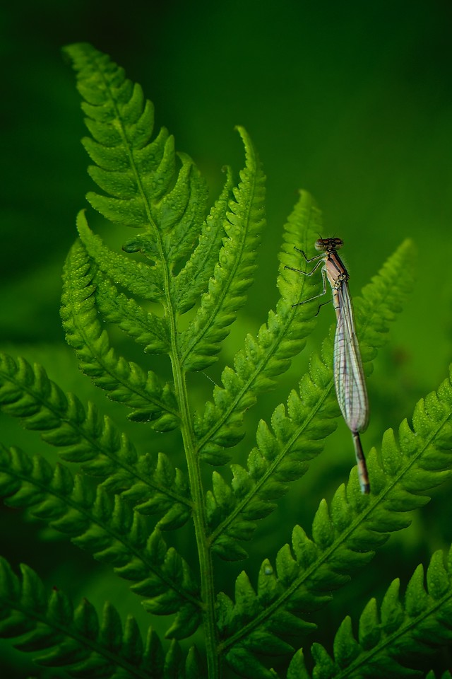 Fern and Damselfly