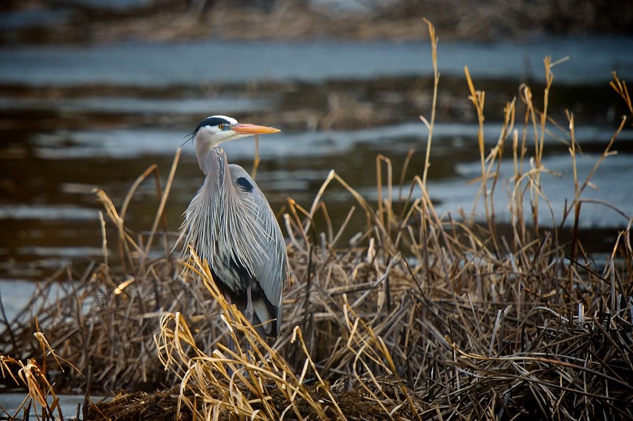 Great Blue Heron, Cottage, Lac Lu
