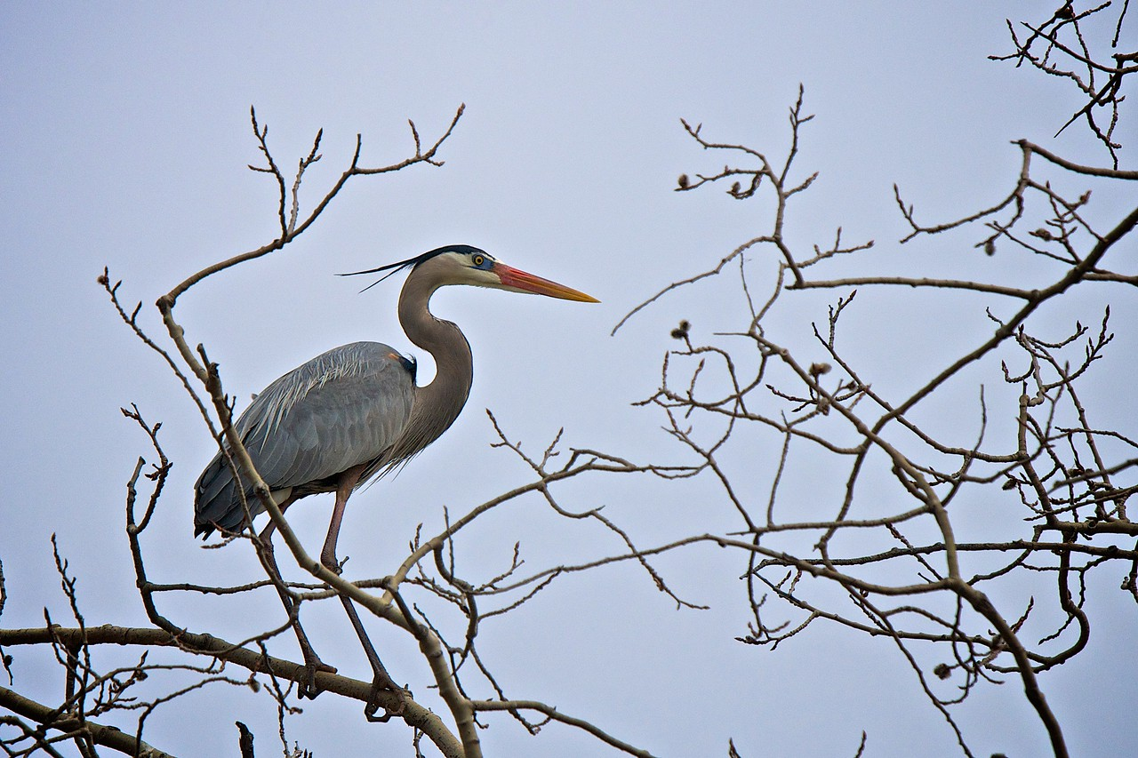 Great Blue Heron - 2011-04-26 14-51-01