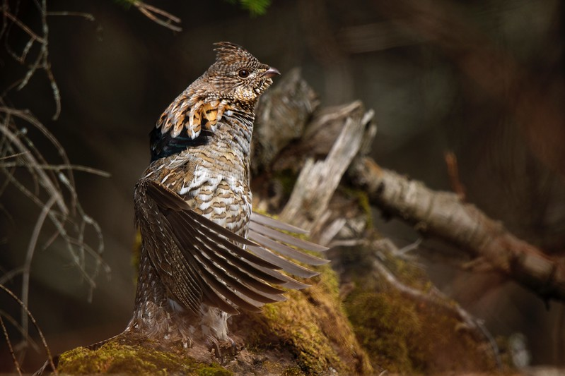Ruffed Grouse Drumming - 2011-04-26 15-28-12