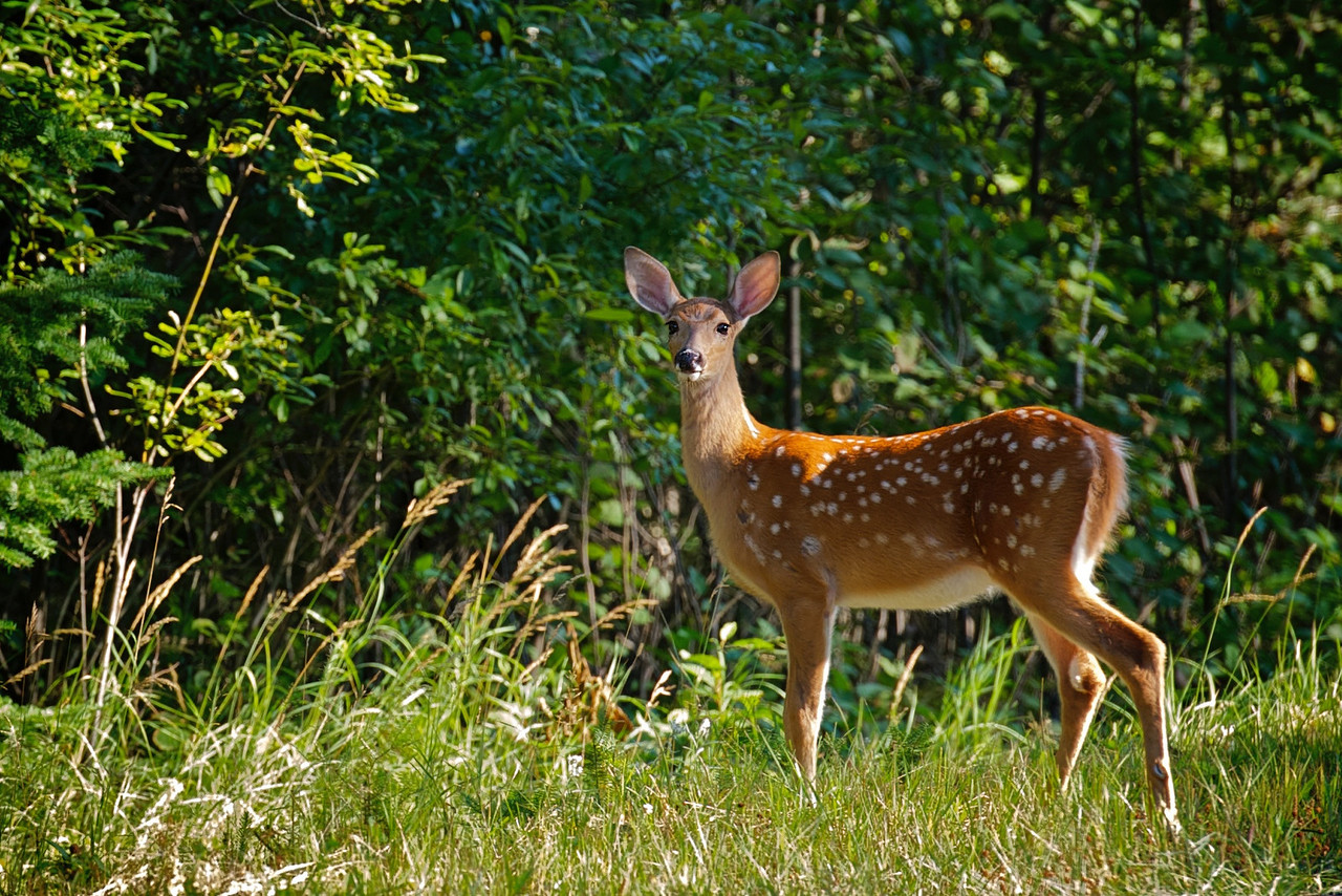 Fawn on a deer trail near the cottage