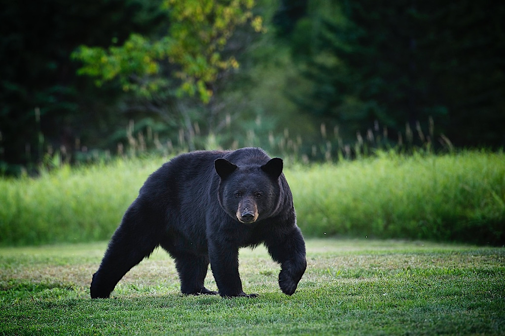 The bear is still in the yard