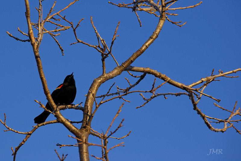 the Blackbird calls