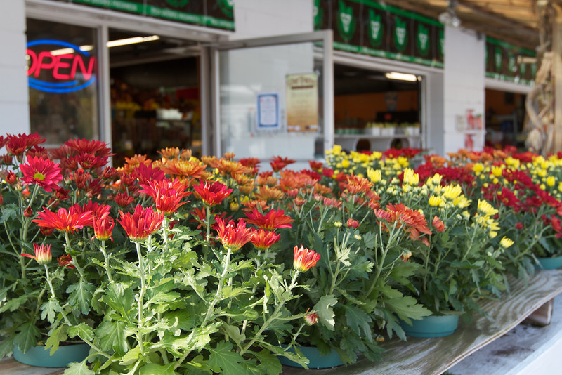 Brightly colored autumn chysanthemums at an outdoor farmers market