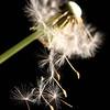 20120602 Falling Cypselae