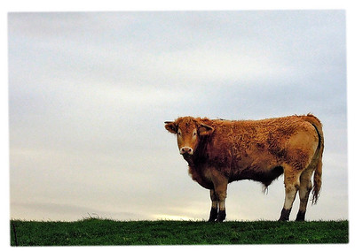 20120106 Cow