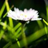 20120321 Half-Hearted Daisy