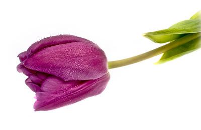 20120116 Lightbox Tulip