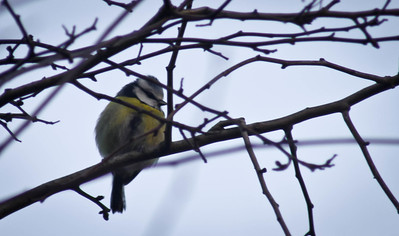 20120122 A Bluetit ... Possibly