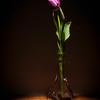 20130409 Tulip Glow