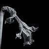 20130202 Paper-Thin Petals