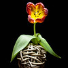 20140317 Parrot Tulip