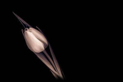 20140124 Split-Toned Tulip