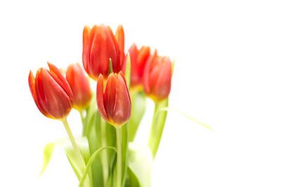 20140115 High Key Tulips