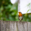 20150908 The Robin on the Fence