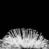 20150425 Dandelion Curls