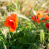 20150702 Mayflower Park Poppy