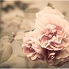 20151007 Antique Rose