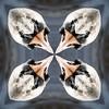 20161202 Kaleidoscope Swan