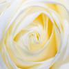 20171107 Rose