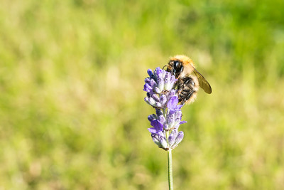 20180902 - Bee on Lavender
