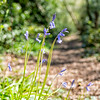 20180418 - Bluebells Along the Path