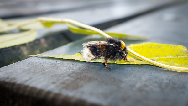 20181106 - The Bee on the Bench