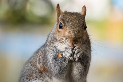 20181112 - St James's Park Squirrel