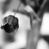 20180213 - Soft Tulip
