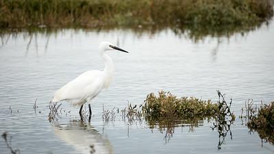 20191020 - Egret in the Saltgrass