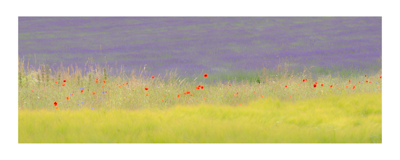 Poppies & Lavender