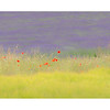 Poppies & Lavender