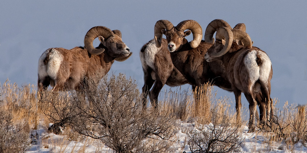 Batchelor herd of Californian BigHorn Rams__  Kamloops BC<br /> <br /> _A041344 tl