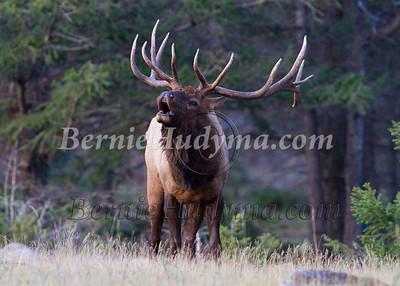 Jasper Park Elk... _MG_0717-Edit