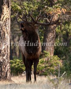 Jasper Park Elk  _A040618