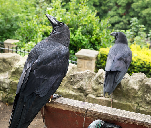 Ravens at Knaresborough Castle #1 - North Yorkshire UK 2017