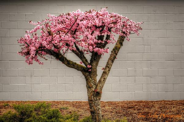 086 Blossom Tree - Redmond