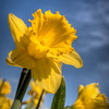 106 Daffodil - Mount Vernon