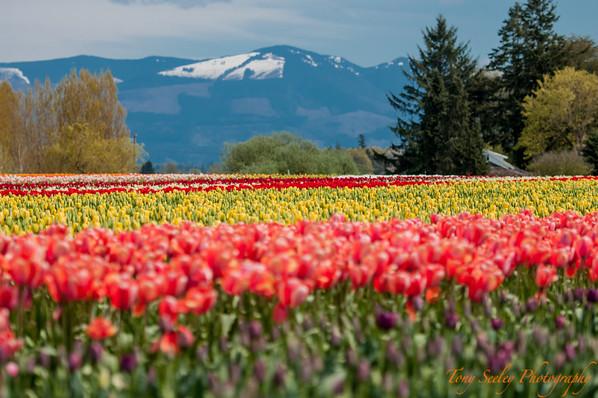 118 Tulip Fields - Mount Vernon