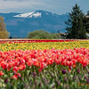118 Tulip Fields - Mount Vernon